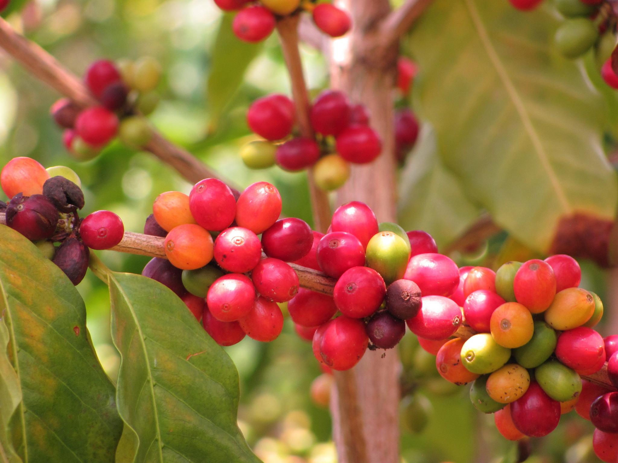 Hoe Arabica koffie over de wereld is gereisd