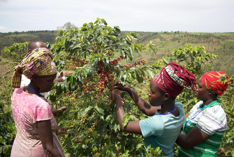 Proefpakket koffiebonen uit Afrika