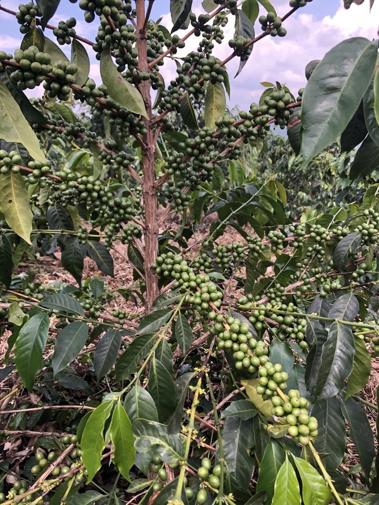 Twee koffiecoöperaties die een fantastische oogst gaan hebben